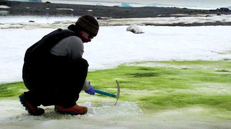Climate change turning Antarctica`s snow green