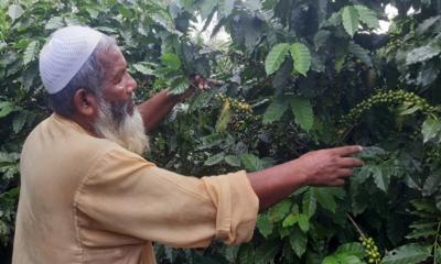 Coffee farming comes to Rangpur