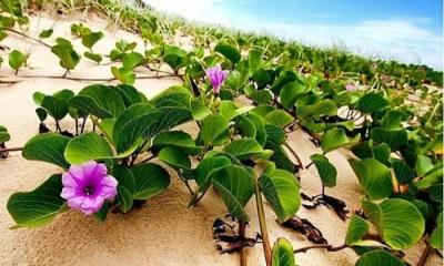 Morning glory returns to Cox's Bazar beach